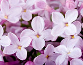 Flowers lilac — Stock Photo