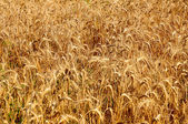 Gold wheat — Stock Photo