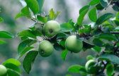 Drie groene appels op een boom — Stockfoto