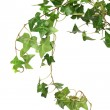 Green Ivy — Stock Photo #2870629