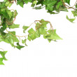Green Ivy — Stock Photo #2900714