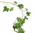 Green Ivy — Stock Photo #2997712