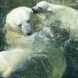 Polar Bears Bathing — 图库照片