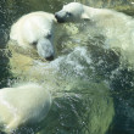 Polar Bears Bathing — Stock Photo