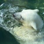Young Polar Bear Swimming — Stock Photo