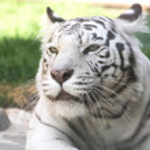 ������, ������: White Tiger