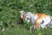 Tiger On Grass — Stock Photo