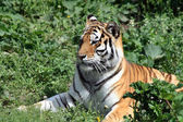 Тигр на траве — Стоковое фото
