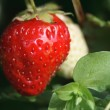 Stock Photo: Strawberry Growth