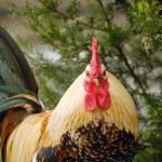 Cock — Stock Photo #3065856