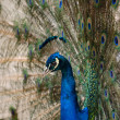 Stock Photo: Peacock