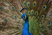 Peacock — Стоковое фото