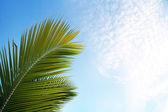 Palms leaf on sky — Stock Photo
