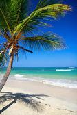 Coconut palm on caribbean beach — Stock Photo