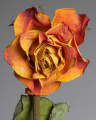 Faded rose — Stock Photo