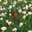 Red tulip - Foto Stock