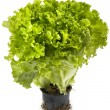 Lettuce bunch — Stock Photo