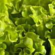 Lettuce bunch background — Stock Photo #3363232