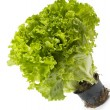 Lettuce bunch — Stock Photo #3883998
