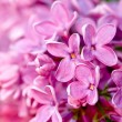 Fresh lilac flower — Stock Photo