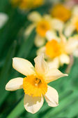 Yellow narcissuses — Stock Photo