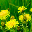 Flowering dandelion — Stock Photo #3139361