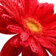 Red gerbera — Foto de Stock