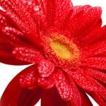 röd gerbera — Stockfoto