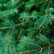 Pine tree — Stock Photo #3716132