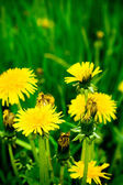 Dandelion flowers — Stock Photo