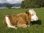Satisfied Altaic cow — Photo