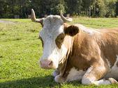 Thoughtful bull — Stock Photo
