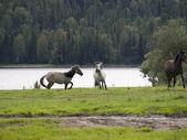 Freestyle vita dei cavalli — Foto Stock
