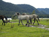 Horses at the watering — Stock Photo