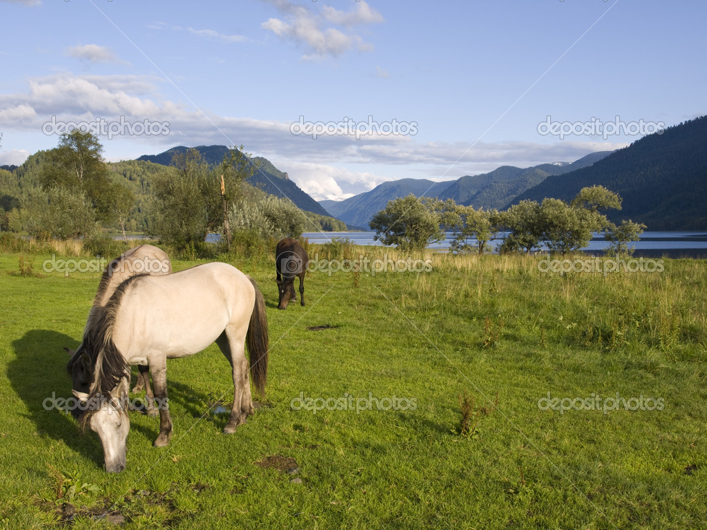 Russia, Altai territory, the wild horses — Stock Photo #3019091