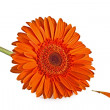orange gerbera flower — Stock Photo #2866925