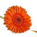 Orange Gerbera Flower — Stock Photo #2866925