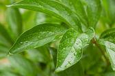 Gröna blad med vattendroppar. — Stockfoto