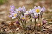 Pasque-flower — Stock Photo