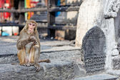 Funny eating monkey in Monkey temple — Stock Photo