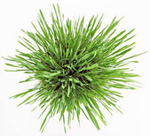 Fresh new green grass in white plate — Stock Photo