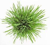 Fresh new green grass in white plate — Stock Photo