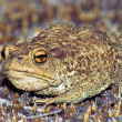 Big earth frog (bufonidae) sitting on brown moss - Stock Photo