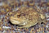 Big earth frog (bufonidae) sitting on brown moss — Stock Photo