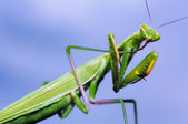Green mantis washing itself on blue sky background — Stock Photo