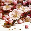 Blossom cherry flower - Stock Photo