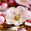 Stock Photo: Cherry blossom detail
