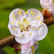 Stock Photo: Blossom cherry closeup