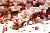 Blossom cherry flower — Stock Photo