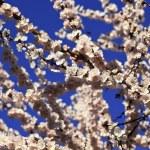 Cherry blossom background — Stock Photo #2781612